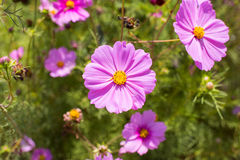 Summer garden with Cosmos flowers Stock Images