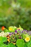 Summer garden flower colorful violet Stock Images