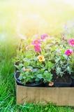 Summer garden flowers in cardboard box on green grass Royalty Free Stock Photo