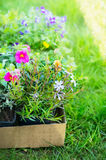 Summer garden flowers in cardboard box for plant on green grass Royalty Free Stock Photo