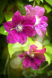 Summer garden flowers after rain Royalty Free Stock Images