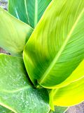 Leaves of the Canna Coccinea Plant stock photography