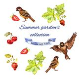 Summer garden`s collection with currant, sparrows, strawberries, cherries stock illustration