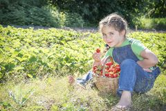 In summer, in the garden, a small sweet curly girl eats strawberries. stock photography