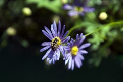 Native bee on purple daisy with yellow centre stock photos