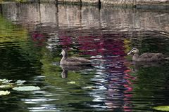 Pair of ducks swimming in pond with colorful reflections stock photography