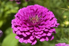 Purple Zinnia flower on a sunny day Stock Images