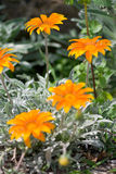 Summer Gazania Stock Photography