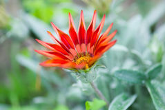 Summer Gazania Royalty Free Stock Photography