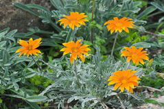 Summer Gazania Royalty Free Stock Photos