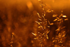 Summer Gold Royalty Free Stock Photography