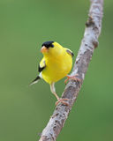 Summer Goldfinch Stock Images