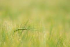 Summer grain Royalty Free Stock Image