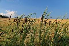 The Summer Grain Field Royalty Free Stock Image