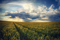 Summer grain field and sun rays Stock Image