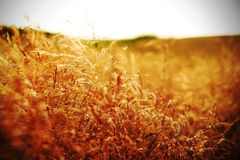 Summer grain Royalty Free Stock Photography