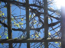 Summer grape vines. These are grape vines on a trellis at my house in the summer sun Stock Photo