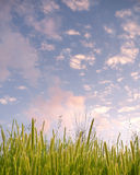 Summer Grass. A calm background of some green grass and a beautiful sunset sky Stock Photos
