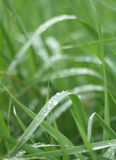 Summer grass. Another look on some moist grass on a summer morning stock image