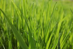Summer grass background. Spring or summer nature background with juicy grass royalty free stock image