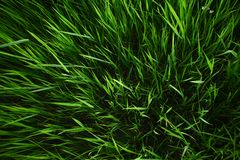Summer grass background. Spring or summer nature background with juicy grass stock photo