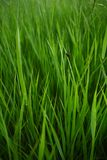 Summer grass background. Spring or summer nature background with juicy grass and little red bug royalty free stock image