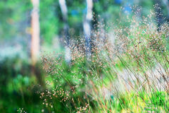 Summer grass blades in daylight background Royalty Free Stock Photo