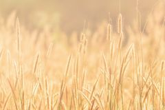 Summer grass evening sunset. Summer grass sunset in hot summer evening with blurred background and warm colors royalty free stock photo