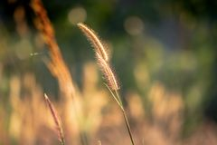 Summer grass evening sunset. Summer grass sunset in hot summer evening with blurred background and warm colors stock images