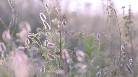 Summer grass flowers close up in the field with light breeze Sunset backlight, dolly shot, shallow depth of the field. 50 fps stock video