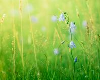 Summer Grass And Flowers. Retro Style Background Of Summer Flowers Bluebells/Harebells In Long Meadow Grass royalty free stock image