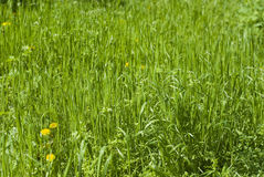 Summer grass Royalty Free Stock Photo
