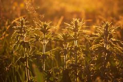 Summer grass illuminated by warm orange sunlight. The sun`s rays passing through the green leaves stock photography