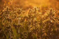 Summer grass illuminated by warm orange sunlight. The sun`s rays passing through the green leaves royalty free stock photo