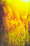 Summer Grass Meadow Close-Up With Bright Sunlight Royalty Free Stock Photography