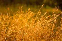 Summer Grass On Meadow Stock Image
