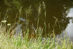 Summer grass over the water. Summer grass over the water with tree reflections on the background Stock Photo