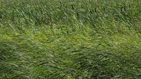 Summer grass and reeds swaying with a strong wind stock video footage