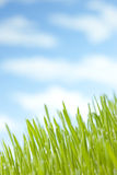 Summer Grass Sky Background. A soft focus image of angled grass with a blue sky and fluffy white clouds Stock Photos
