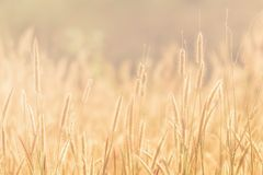 Summer grass evening sunset. Summer grass sunset in hot summer evening with blurred background and warm colors royalty free stock images