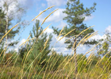 Summer grass swaying in the wind Stock Photography