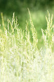 Summer grass Royalty Free Stock Image