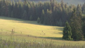 Summer grass on wind with background of forest. In mountains stock footage