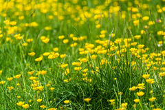 Summer grass with yellow wildflowers. Summer meadow with yellow wildflowers in UK - nature background stock photography