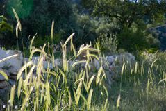 Summer grasses... Summer grasses send their seed pods up into the air as August approaches Stock Photography