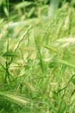 Summer Grasses. Luscious green summer grasses in a light breeze Royalty Free Stock Photography