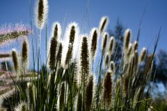 Summer Grasses Against The Clear Blue Sky. Summer grasses in full flight during a clear warm summers day; sun and shade contrast Stock Photo