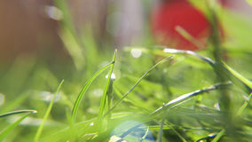 Summer grasses in bright sunshine. Close up view of grass on a sunny evening with some lens flare and a small depth of field and a touch of red amongst the green Royalty Free Stock Photography