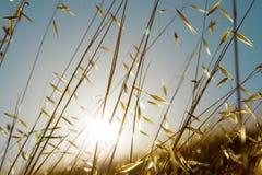 Summer grasses. Field of wild grasses in a golden summer sunset sun stock photography