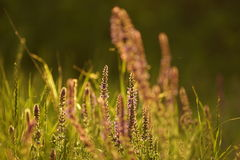 Summer grasses Royalty Free Stock Images